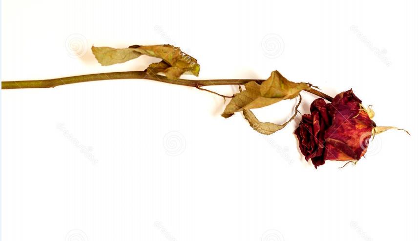 rose_fanée-2